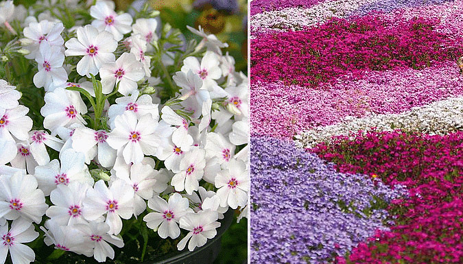Phlox Creeping Fragrant Flower Collection - 5, 10, 20, 50 or 100 Plants