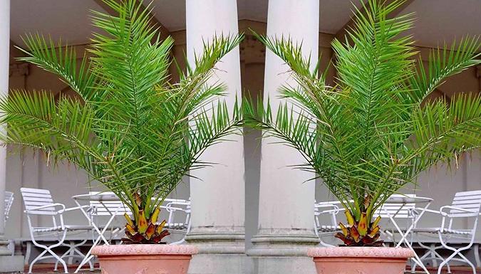 1 or 2 Canary Island Palm Trees