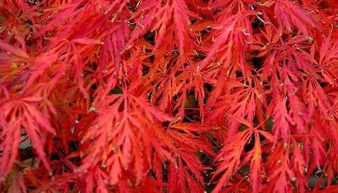 Trio of Treemendous Japanese Acer Maples