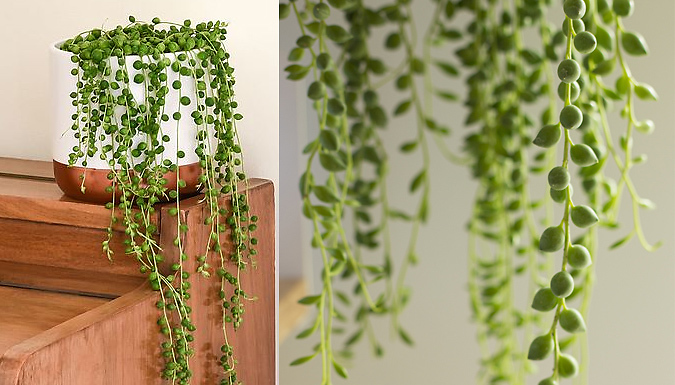 Senecio 'String of Pearls' House Plant - 1, 2 or 4-Pack