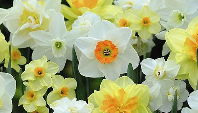 100 Daffodil 'Spring Flowering' Mixed Bulbs