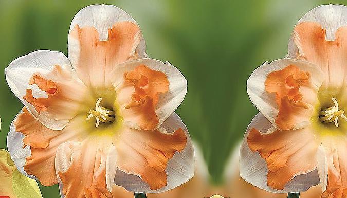 Daffodil 'Rainbow Butterflies' Mixed Bulbs - 10, 20 or 40 Bulbs