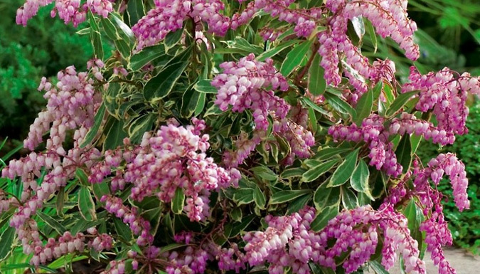 Image of 5 x Evergreen Pieris Plants