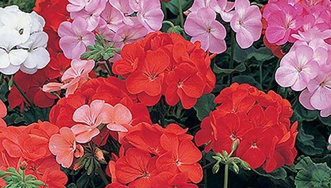 Image of 120 Mixed Bedding Plants - Geranium, Petunia & Lobelia