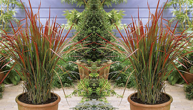 3 or 6-Pack of Imperata 'Red Baron' (Blood Grass)