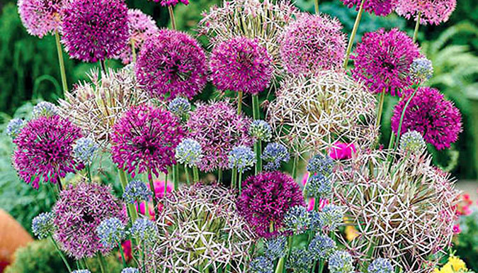 100 Allium Spring Bulb Collection - With 7 Varieties