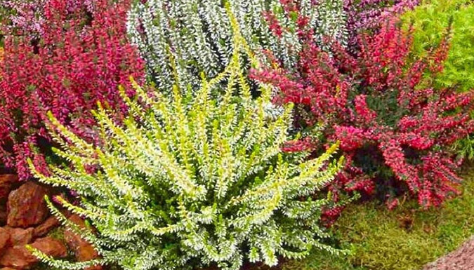 Image of 10 x Winter Hardy Evergreen Heather Plants in Bud